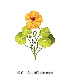 Nasturtium Wild Flower Hand Drawn Detailed Illustration....
