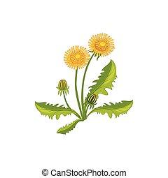 Dandelion Wild Flower Hand Drawn Detailed Illustration....
