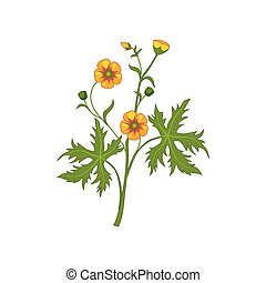 Buttercup Wild Flower Hand Drawn Detailed Illustration....