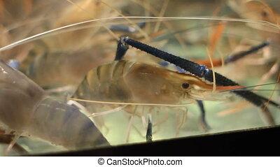 Aquarium with live stirring shrimp.Aquarium with live...