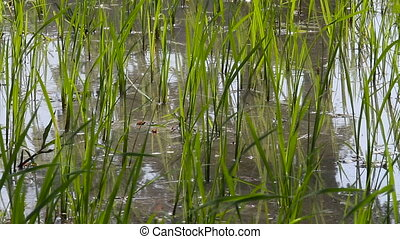 Rice field. Close up video of green growing germs of rice....