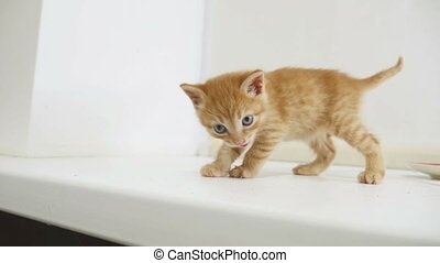 ginger kitten walking on the windowsill in the house cat -...