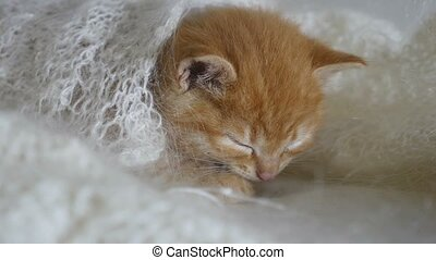 redhead cat little kitten asleep wrapped in knitted shawl...