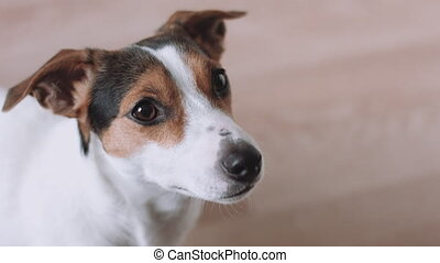 Dog looking at camera - Jack Russell Terrier looking at...