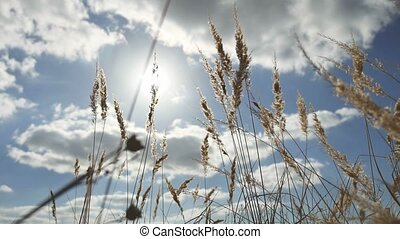 dry grass on a background of blue sky in the ears of nature landscape