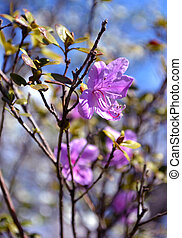 ledum. herb Wild rosemary