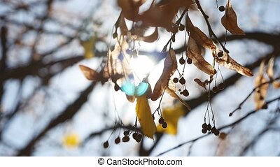 autumn maple helicopter branches tree swaying nature -...