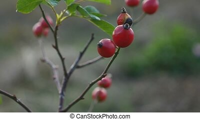 red rosehip berries on a bush tree branch nature - red...