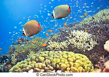Red-tailed Butterflyfishes - Underwater landscape with...