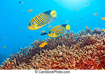 Royal angelfishes - Underwater landscape with couple of...