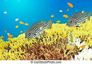 Sweetlips - Underwater landscape with couple of Sweetlips