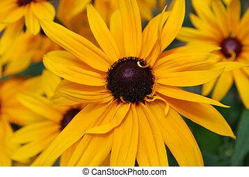 Garden of Black-Eyed Susans in Bloom - Flowering garden of...