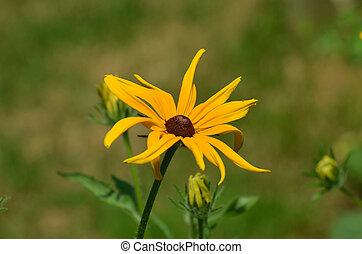 Beautiful Ox=Eye Daisy Flower Blossom - Pretty ox-eye daisy...