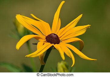 Brown-Eyed Susan Flower Blooming - Pretty brown-eyed Susan...