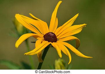 Brown-Eyed Susan Flower Blooming - Pretty brown-eyed Susan...