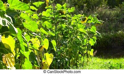 sunflower field in sunny day - sunflower field in beautiful...