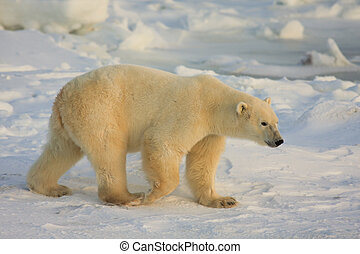 Healthy polar bear in the arctic searching for food