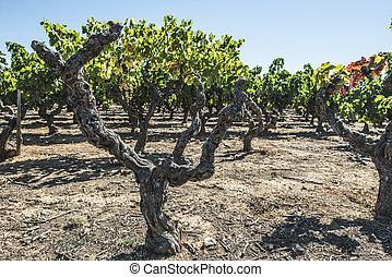 Withered red grapes. Vineyards