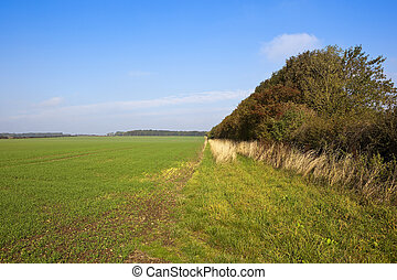 tall hedgerow and wheat - a tall mixed hedgerow with...