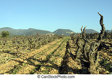 Vineyards in Drome provencal in France - Winter Vineyards of...