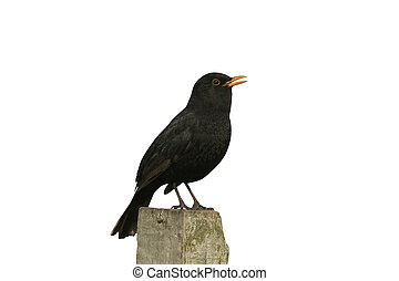 Blackbird, Turdus merula, single male singing on fence post,...