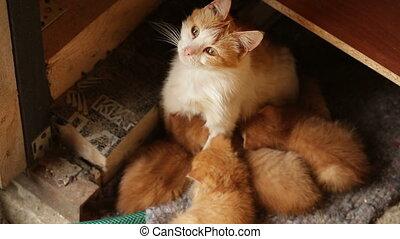 cat feeding her kittens - Red-haired mother cat feeding her...