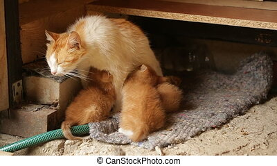 mother cat feeding her kittens - Red-haired mother cat...
