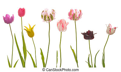 unusual brightly colored tulips - Beautiful bright colorful...
