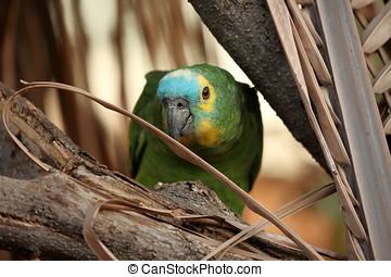 Błękitny, amazonka,  FRONTED, papuga