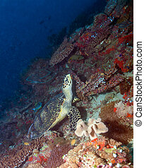 Green turtle laying on coral seabed Maldives - Green turtle...