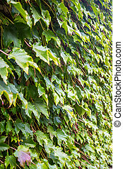 Parthenocissus tricuspidata on the wall, flora of  Georgia.
