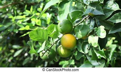 Oranges on the tree - Video shot of oranges ripen on the...