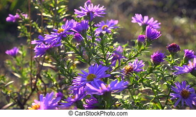 Magenta asters flowerbed at the wind