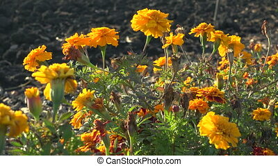 Orange French marigolds on the wind, floral natural...
