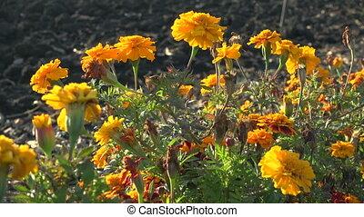 Orange French marigolds on the wind