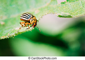 Colorado Potato Striped Beetle - Leptinotarsa Decemlineata Is A Serious Pest Of Potatoes Plants