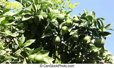 Oranges ripen on the tree on a sunny summer day