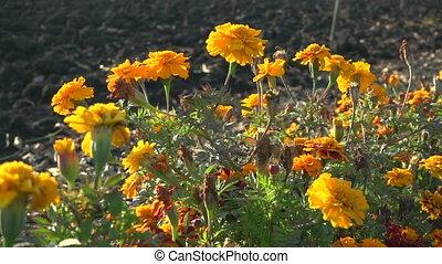 Orange French marigolds on the wind, slow motion