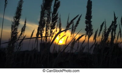 grass sways in the wind, tranquil landscape at sunset -...