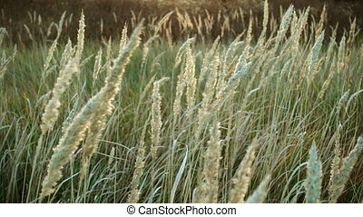 tall grass sways in the wind, tranquil landscape - Tall...