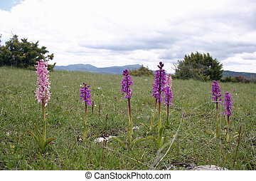 Pink orchids in a lower alpine meadow near the village of...
