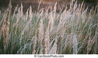 tall grass sways in the wind, tranquil landscape, slow motion