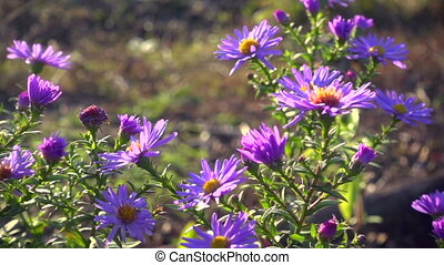 Magenta asters flowerbed at the wind, slow motion