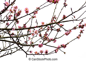 Plum Blossom on White Background