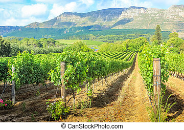 Stellenbosch wine farm - Rows of grapes in picturesque...