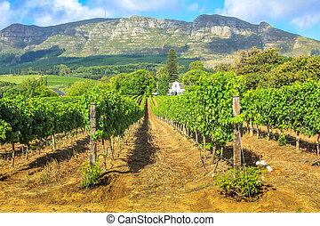 Stellenbosch Wine Route - Rows of grapes in picturesque...