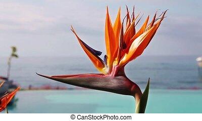 Paradise bird flower (Strelitzia) - Strelitzia - exotic...