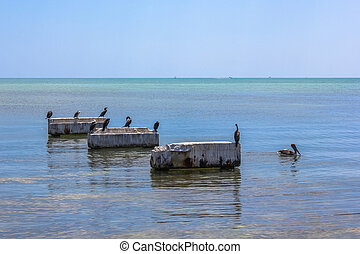 Brown Pelicans Florida - Brown pelicans and other birds,...