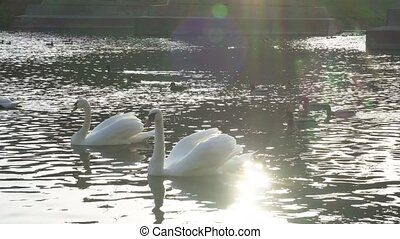Beautiful white swans in water in the green meadows of the...