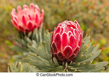 pink protea flower and bud - closeup of pink protea flower...